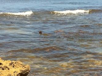 Turtles at Haleiwa Beach 2