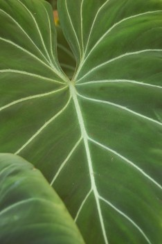 Green leaf of Beauty