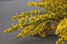 Scotch's Broom Capture Walk 2 (112)