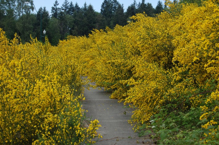 Scotch's Broom Capture Walk 2 (135)