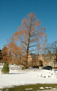 Baldcypress, an exotic in Michigan, had little ice damage