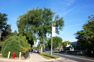 Elm trees used to be a dominant feature of the MSU campus, now they are specimens.
