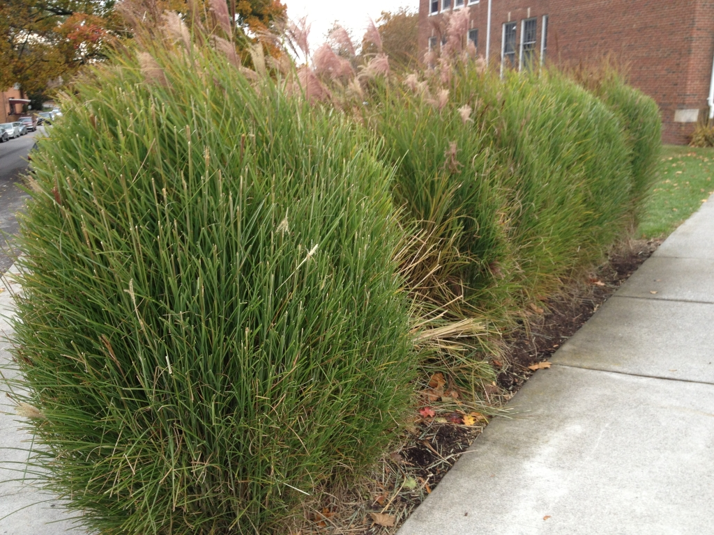 When To Cut Ornamental Grasses Ornamental grass the garden professors tag ornamental grass workwithnaturefo