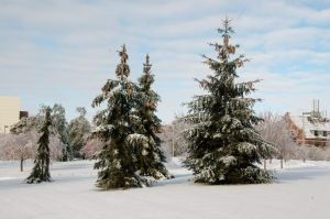 Spruces were largely unaffected by the ice load