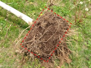 Root system on 'teased' tree