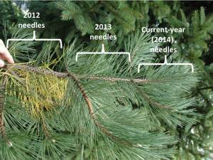 Needles on this Austrian pine (Pinus nigra) persist for three growing seasons.  The tree is currently shedding needles formed in 2012.
