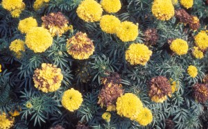 Figure 1b. Pathogen levels can build up on marigold flowers if diseased tissue is left in the landscape
