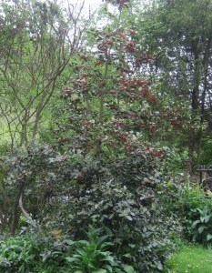 English holly is on the noxious weed monitor list for possible listing.
