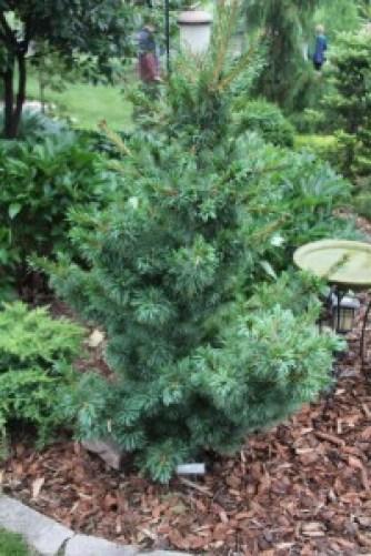 'Bergman' Japanese white pine