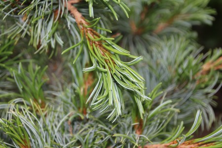 Foliage of 'Bergman' Japanese white pine