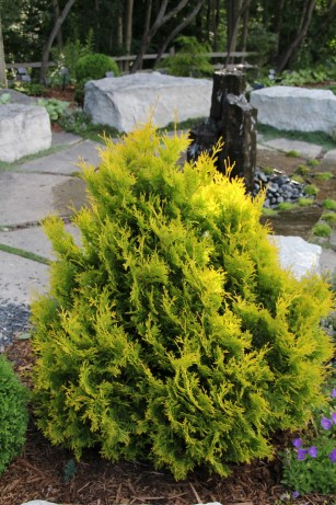 'Gold Drop' arborvitae