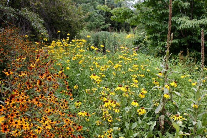 'Sundance' massed with Rudbeckia triloba 'Prairie Glow' in the Bluemel garden.