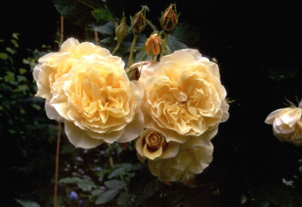 'Graham Thomas' rose