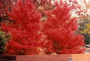 An unknown cultivar of red maple (Acer rubrum) with uniform fall color