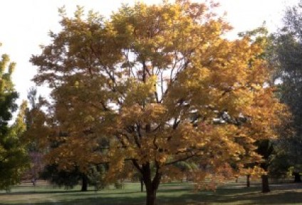 Eyestopper™ Amur corktree (Phellodendron amurense 'Longenecker'), a male cultivar with bright yellow fall color