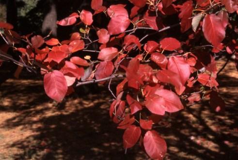 'Robin Hill' apple serviceberry (Amelanchier x grandiflora 'Robin Hill')