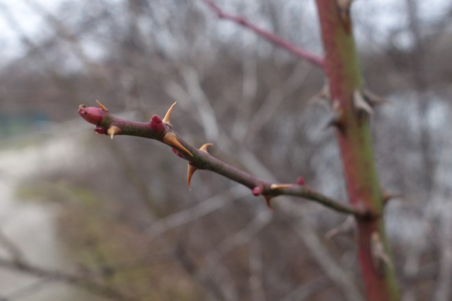 A wild rose with buds still tightly dormant despite unseasonable warmth