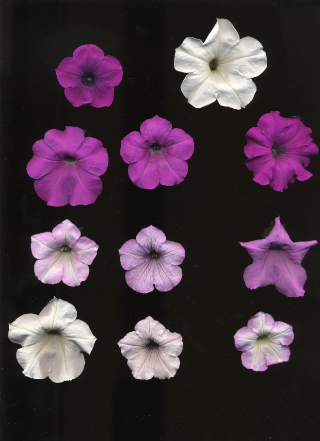 Petunia integrifolia (top left) Petunia axillaris (top right) and their F2 hybrids (everything else)