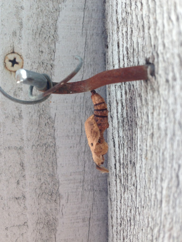 the chrysalis - or pupa- hanging on for dear life from a thread attached to the hook that holds the hinge to my back gate. THAT is determination. And strand silk - they should build bridges from that stuff!