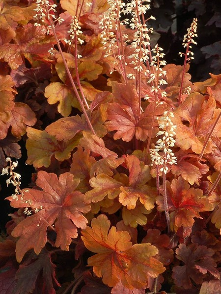 Heucherella \'Buttered Rum\' (from Bluestone catalog)