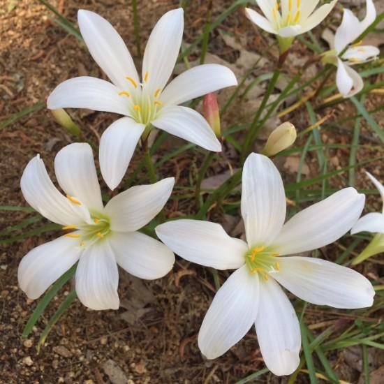 Rain lily, Zephyranthes atamasca at North Carolina Botanical Gardens. Chapel Hill, NC.