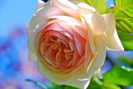 Bloom of A Shropshire Lad rose