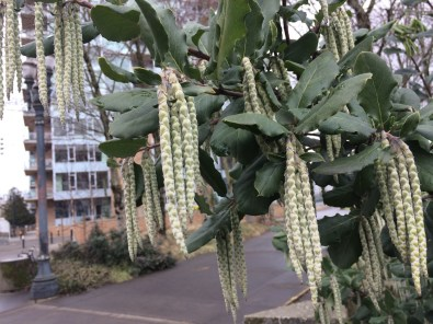 The elongating catkins on Garrya elliptica 'James Roof'