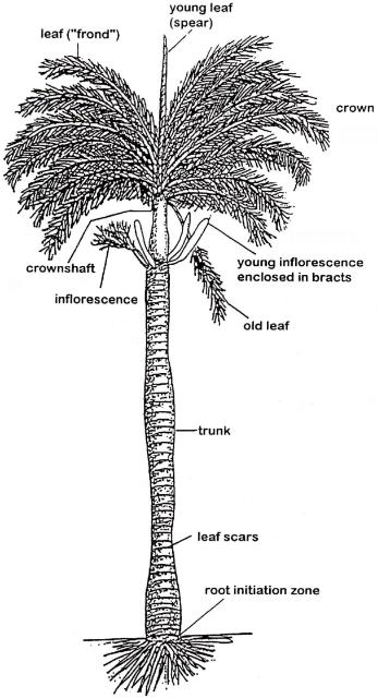 Palms, Bananas, All Monocots…Oh My! Their Similarities and