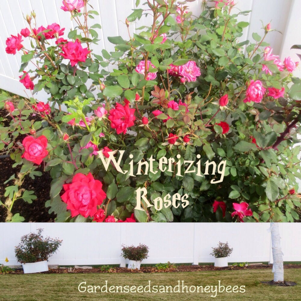 winterizing roses garden seeds and honey bees