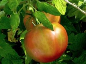 ripening tomato