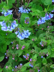 VA bluebells and lungwort