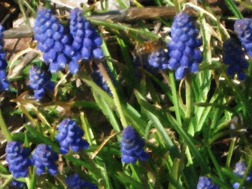 grape hyacinth oil