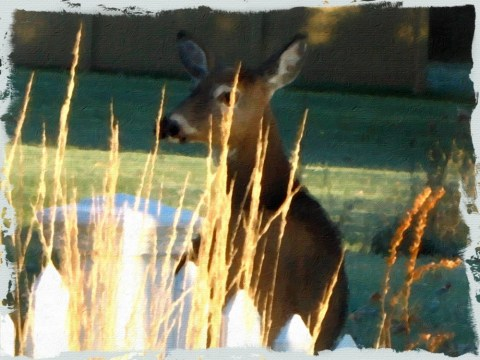 deer-oil