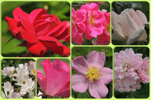 july roses