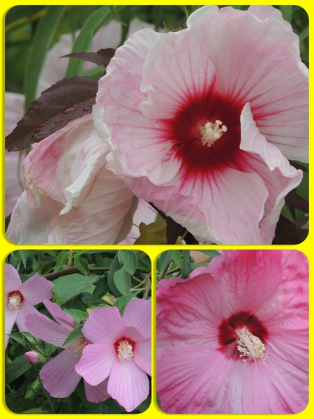 aug hibiscus