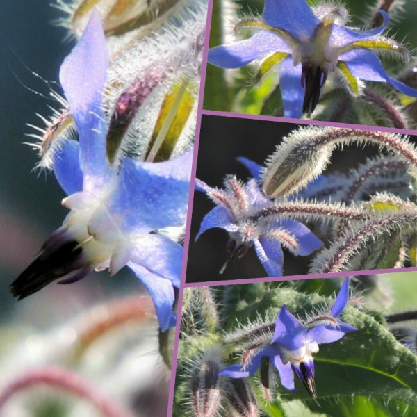 borage collage