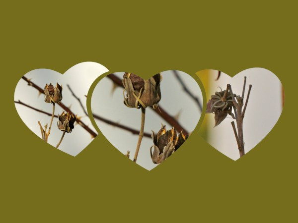 hibiscus seedhead collage