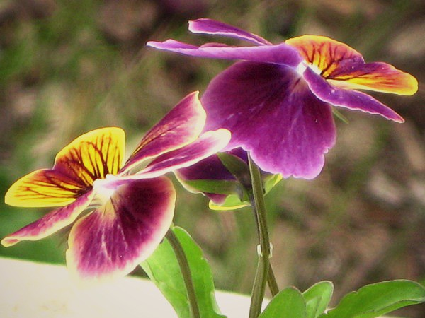 Flower Tales-Pansies