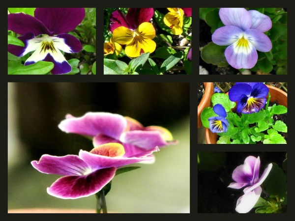 pansy collage