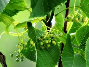 fruit of linden tree