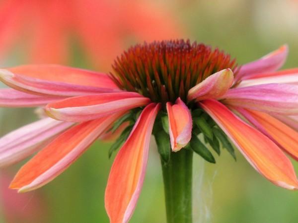 orange pink echinacea