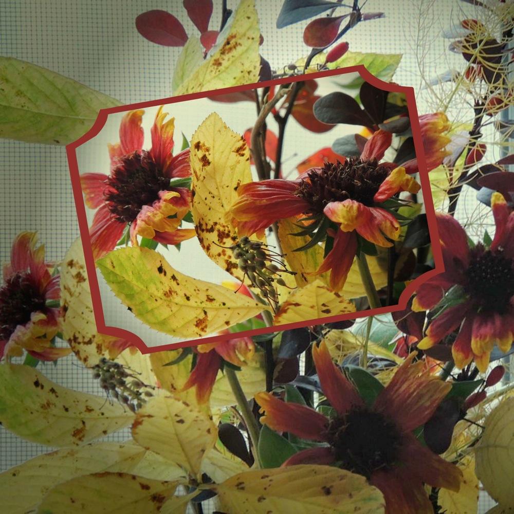 Simply The Best Natives Blanket Flower Gardens Eye View