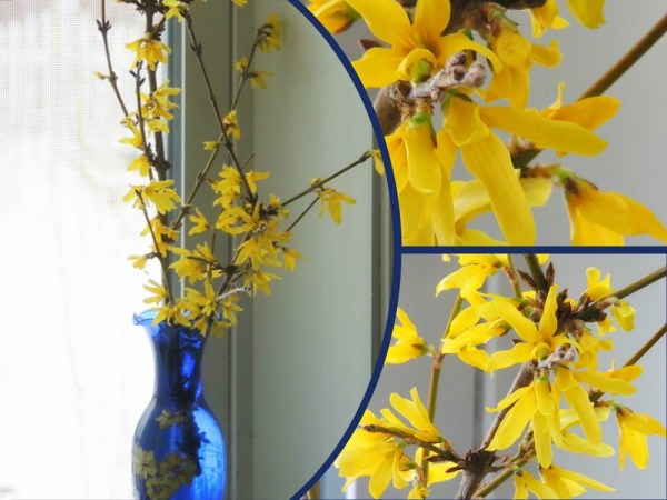 forsythia collage
