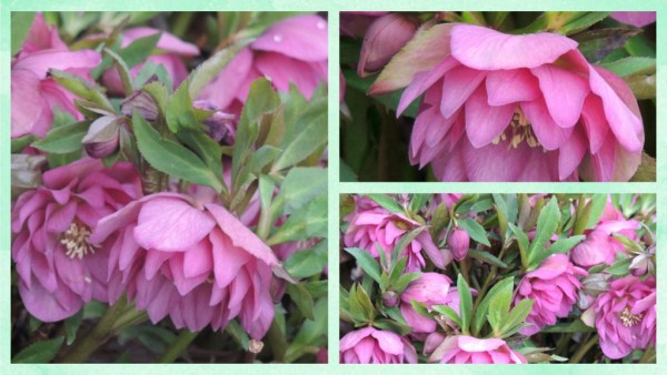 hellebore collage (1)