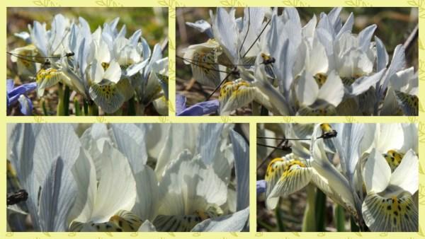 iris collage (1)
