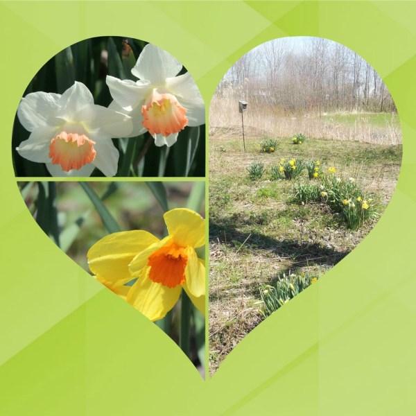 meadow daffs collage