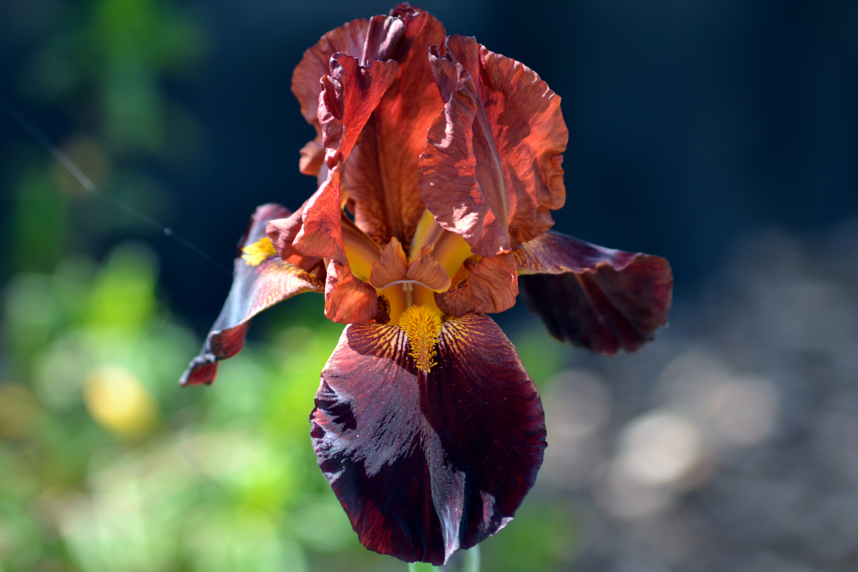 The language of flowers  Iris   Gardens For Goldens Iris rust 4 13
