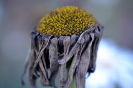 Shasta-daisy-dried