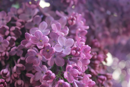 Lilac branches