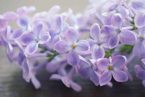 Lilac branch on a table